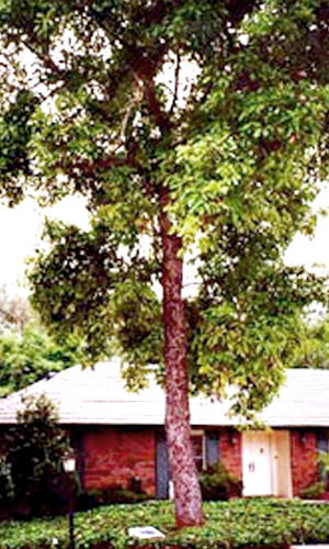 Mother Hass Tree - California Avocado Society